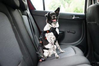 transporte de animais em carros