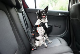 Transportes de animais em carros