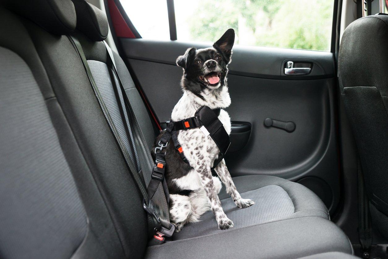 Transporte de animais em carros: opção cinto de segurança